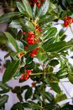 Christmas plant in bloom Ardisia crenata, the coral berry. stock image