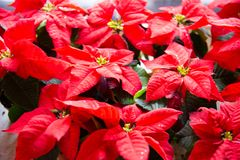 Christmas plant in bloom. Poinsettia in bloom as Christmas decorations. Traditional red Christmas stars in bloom as Christmas decorations royalty free stock photography
