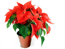 Christmas Poinsettia. Isolated on white Stock Photography