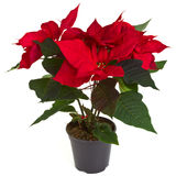 Christmas poinsettia. Vibrant Christmas poinsettia isolated on white background Stock Photography