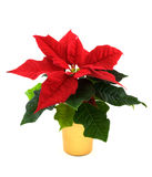 Christmas Poinsettia. Small Christmas Poinsettia in a gold pot on a white background Royalty Free Stock Images