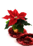 Christmas Poinsettia. Small Christmas Poinsettia surrounded by tinsel on a white background royalty free stock photos