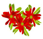 Christmas Poinsettia Clip Art. A clip art illustration featuring a group of Christmas poinsettia flowers isolated on white background Vector Illustration