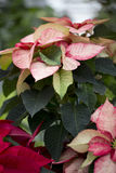 Christmas Poinsettia Royalty Free Stock Image