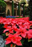 Poinsettias bloom in an atrum. The Christmas Poinsettia Display in bloom at Longwood Gardens, Near Philadelphia, PA Royalty Free Stock Image