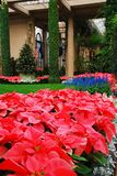 Christmas Poinsettia Display. Dupont mansion at Longwood Gardens, Near Philadelphia, PA stock photography