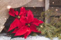 Christmas poinsettia  with fairies on the brick wall background. Toned. Royalty Free Stock Photography