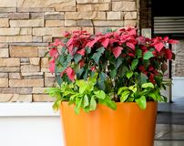 Christmas Poinsettia Flower in A Big Pot Royalty Free Stock Photography
