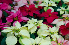 Christmas or Poinsettia  flower. Blooming in garden Stock Image