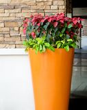 Christmas Poinsettia Flower in An Orange Big Pot Royalty Free Stock Photo
