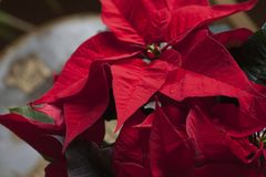 Christmas Poinsettia flower red christmas star backround. Euphorbia pulcherrima Stock Photography