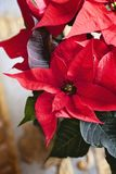 Christmas Poinsettia flower red christmas star backround. Euphorbia pulcherrima Royalty Free Stock Photo
