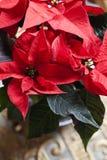 Christmas Poinsettia flower red christmas star backround. Euphorbia pulcherrima Stock Photos