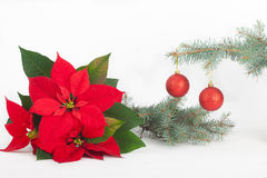 Christmas poinsettia Flowers with shiny red decoration balls Royalty Free Stock Image