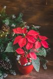 Christmas Poinsettia isolated potted on the vintage rustic background. Toned image. Christmas Poinsettia isolated potted on the vintage rustic background. Toned stock image