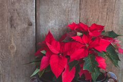 Christmas Poinsettia isolated on the vintage wooden background. Toned image stock images