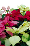 Christmas or Poinsettia Stock Photos