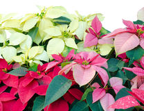 Christmas or Poinsettia Royalty Free Stock Images