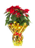 Christmas poinsettia Stock Image