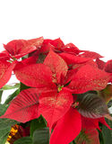 Christmas poinsettia Royalty Free Stock Photo