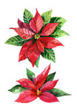 Christmas poinsettia  isolated on white background, watercolor flower Stock Image