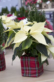Christmas Poinsettia in Plaid Container Stock Photo