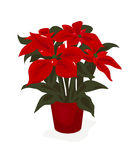 Christmas Poinsettia Plant Stock Photos