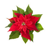 Christmas poinsettia plant isolated on white Stock Images