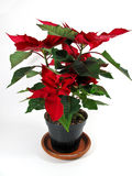 Christmas Poinsettias Royalty Free Stock Image