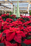 Christmas Poinsettias for Sale. Potted poinsettia plants on display at a nursery for sale. Vertical royalty free stock images