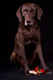 Christmas Pointer. German Shorthaired Pointer sitting with Christmas ornaments Royalty Free Stock Image