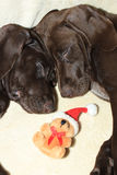 Christmas pointer puppies Royalty Free Stock Image