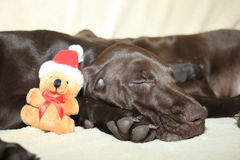 Christmas pointer puppy Royalty Free Stock Images
