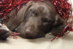 Christmas Pointer with red tinsel Royalty Free Stock Photos