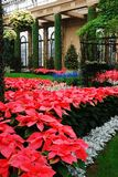 Poinsettias bloom in an atium. Christmas Pointsettia Display, Longwood Gardens, Near Philadelphia, PA royalty free stock image