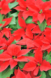 Christmas Pointsettias Royalty Free Stock Images