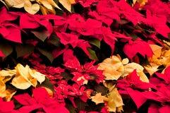 Christmas Pointsettias Stock Image