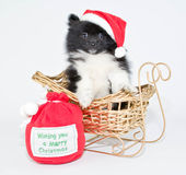 Christmas Pom Puppy Royalty Free Stock Photos