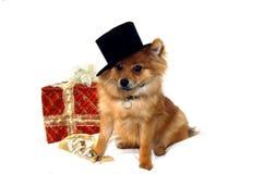 Christmas Pomeranian Stock Photo