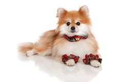 Christmas Pomeranian Stock Images