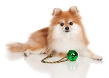 Christmas Pomeranian Stock Images