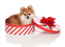 Christmas Pomeranian Royalty Free Stock Photos