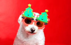 Christmas pooch. A small white dog wearing Christmas decoration glasses royalty free stock images