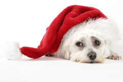 Christmas Pooch. Resting with a santa hat on white background Royalty Free Stock Photography