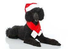 Christmas poodle Stock Image