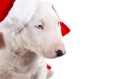Christmas portrait bullterrier puppy Stock Photo