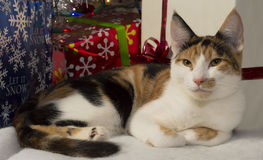 Christmas pose. Calico kitten posing under tree with gifts stock photo
