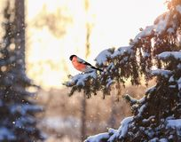 Christmas postcard natural landscape with a bird bullfinch sitting on a branch of spruce with brilliant hoarfrost in winter park stock image