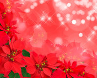 Christmas postcard from poinsettias Stock Photo