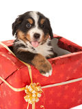 Christmas present with dog. Bernese mountain dog puppy sitting in a christmas present stock photo
